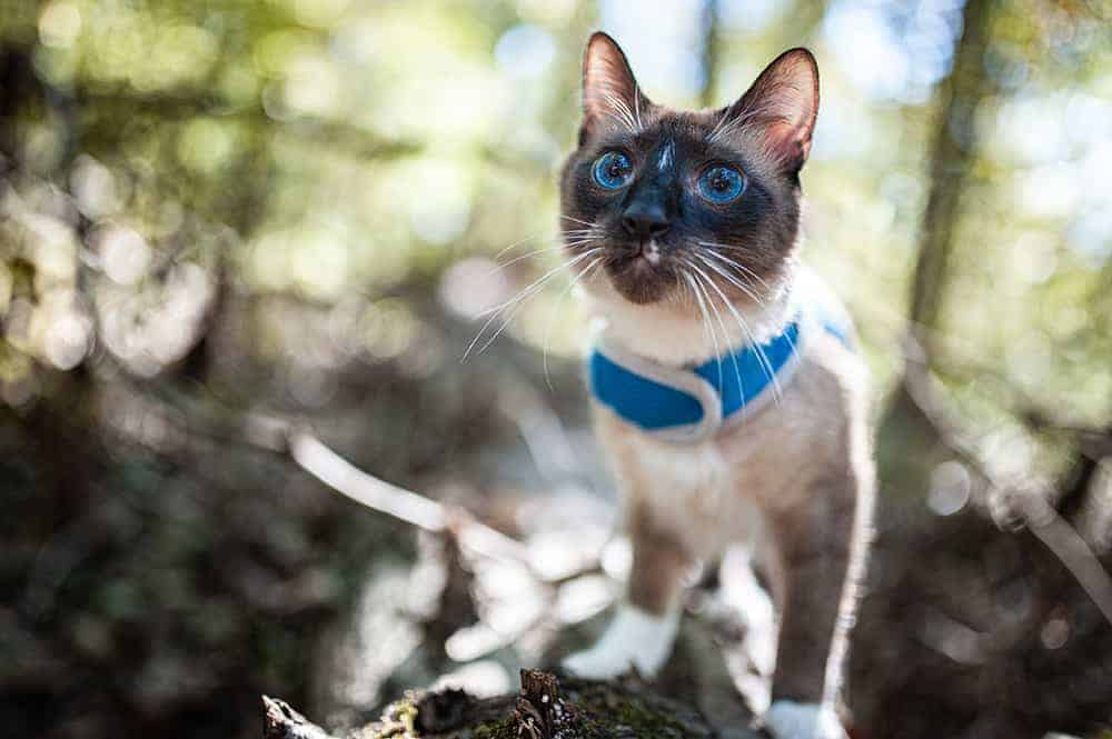cat on a harness and leash in the woods