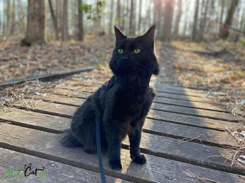 black cat outside on a leash