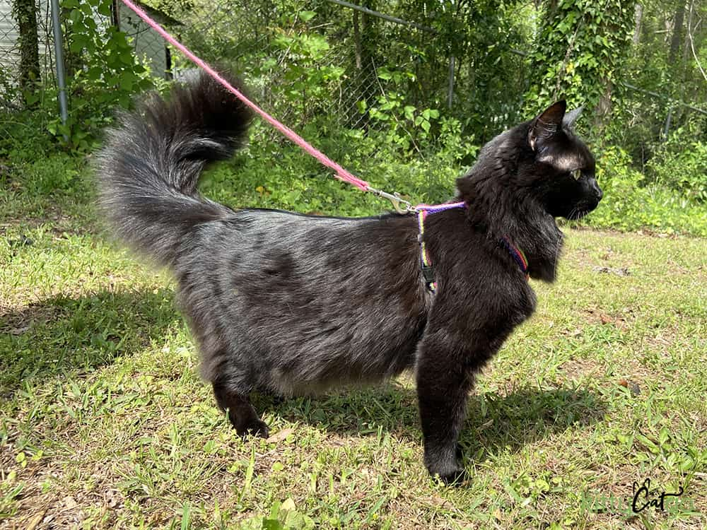 How to Pick Out a Cat Harness - black cat in Roman harness