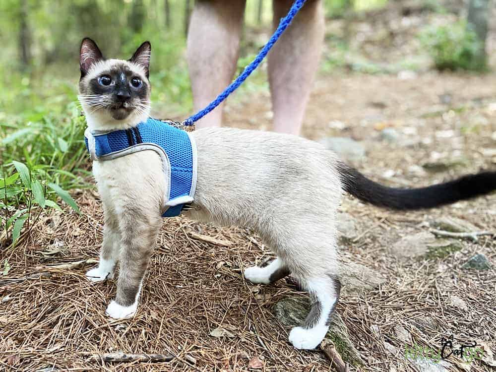 cat on a leash in summer