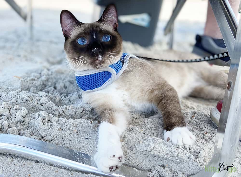 A siamese cat on the beach, laying in the sand.