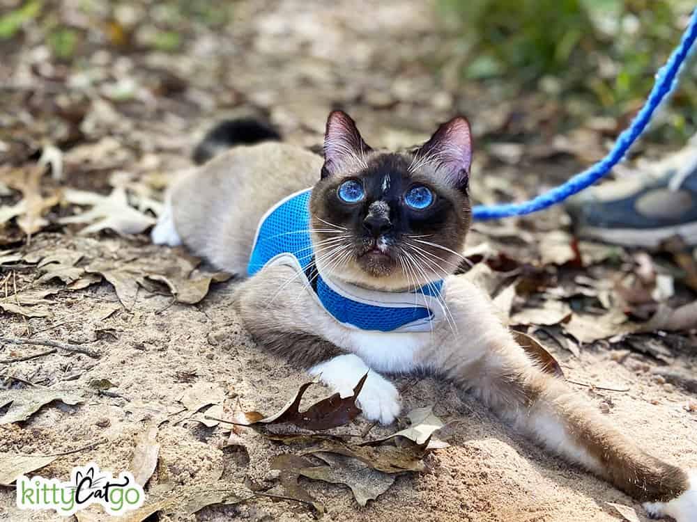 Siamese cat on a leash outside