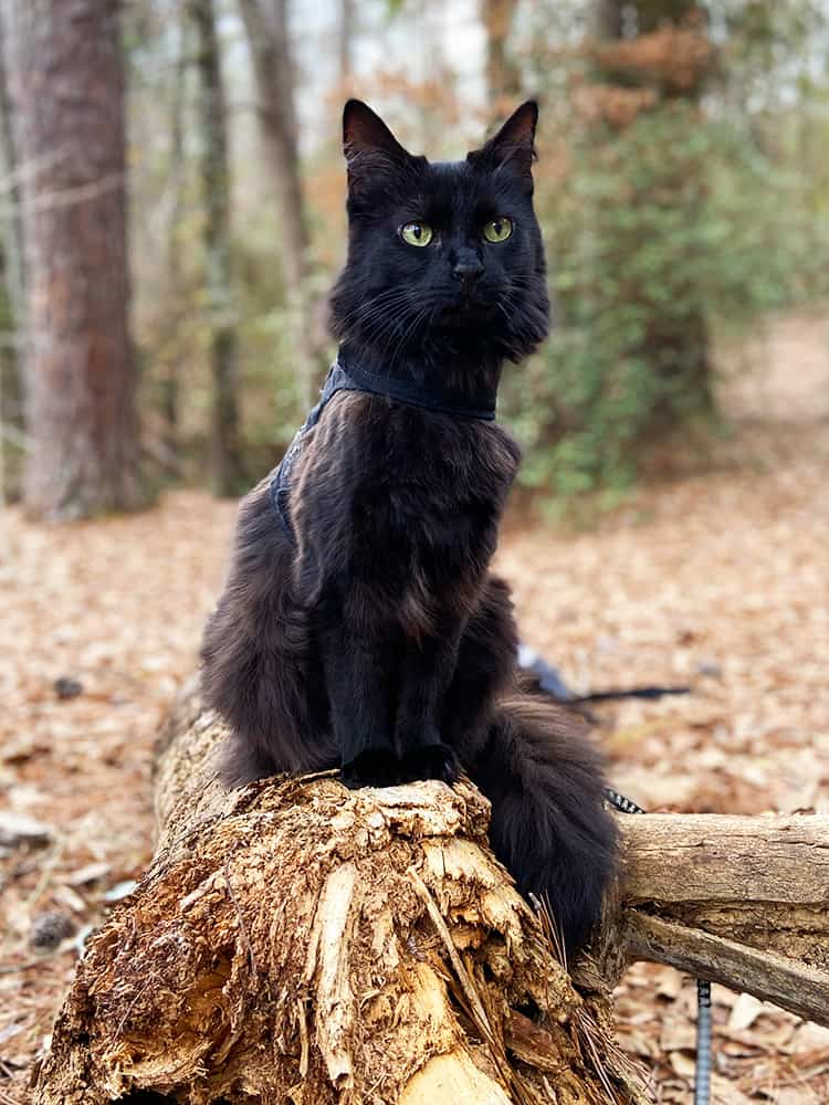 black cat on a leash in the woods