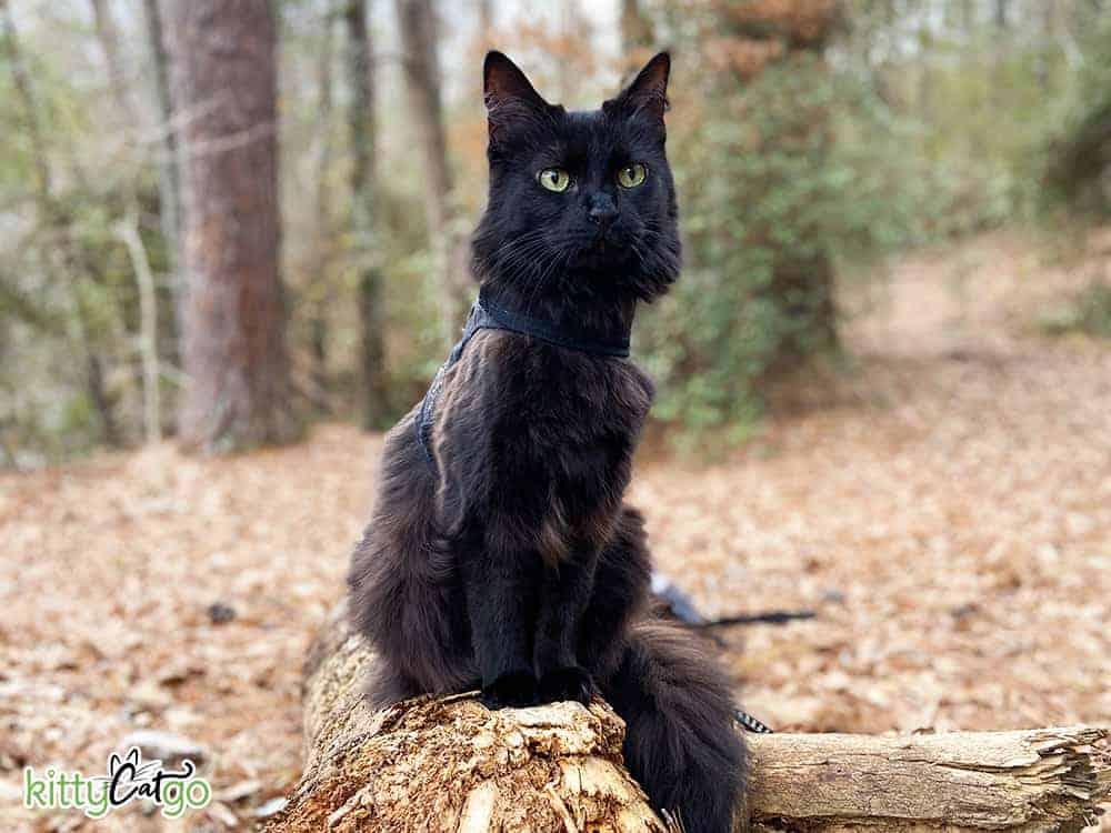 black cat on a leash outside