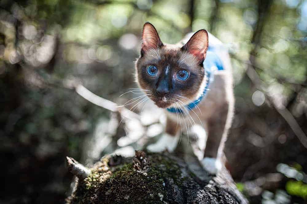 Siamese cat in a harness and leash walking on a log