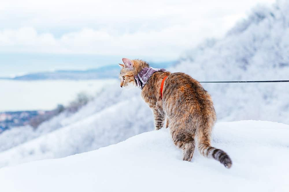 cat on a leash in the snow