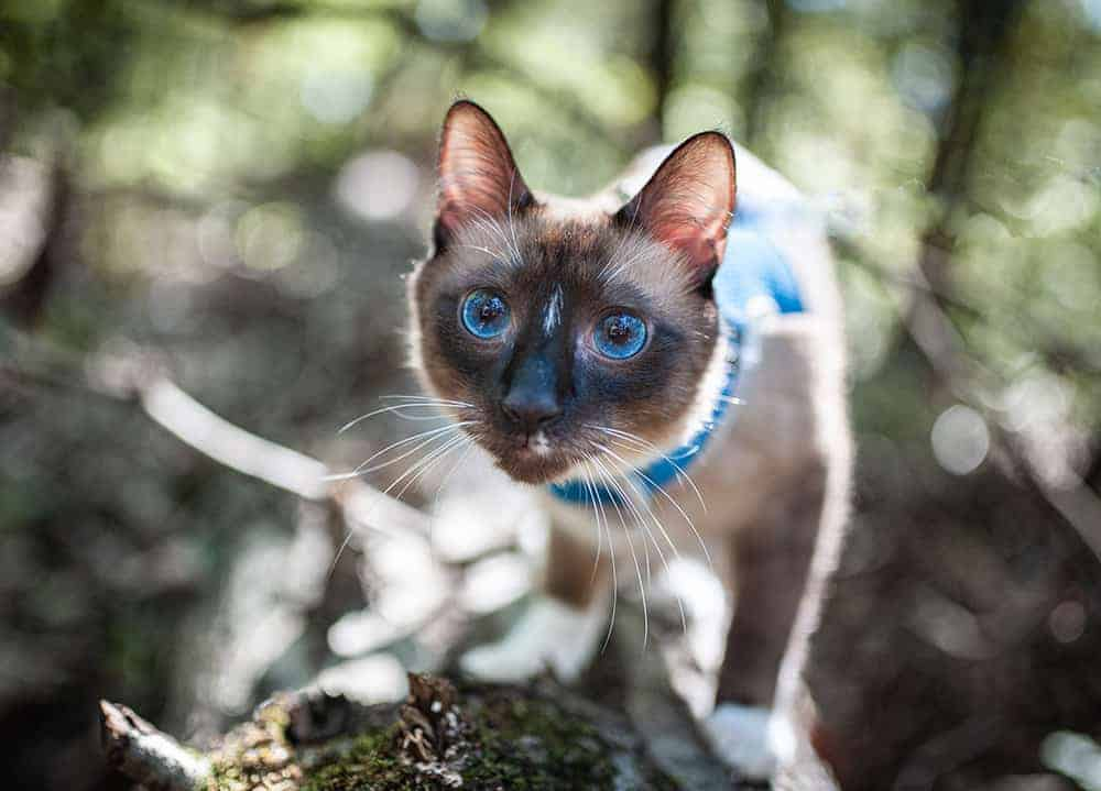siamese cat in the woods on a leash