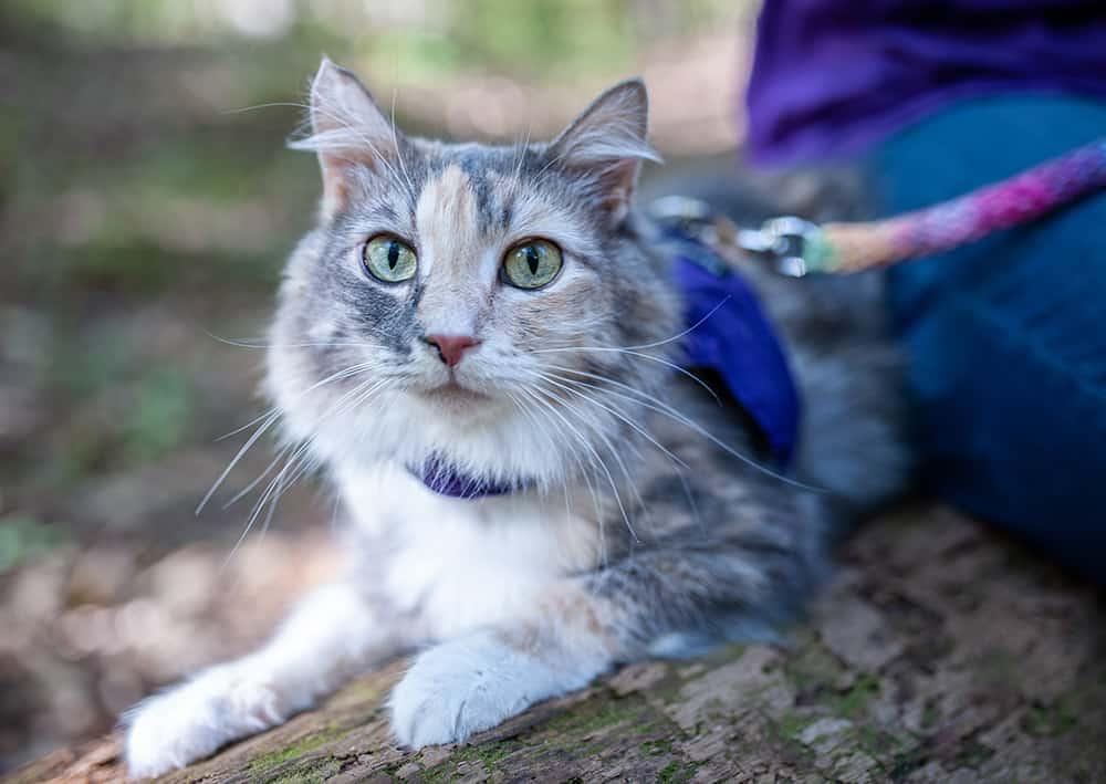 Tortie Cat on a leash in the woods
