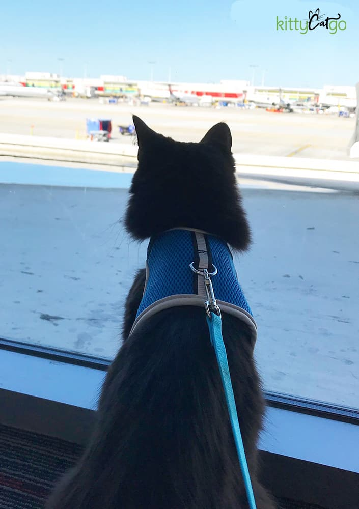 black cat on a harness looking out the window at the airport