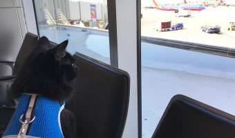 black cat on a harness and leash at the airport