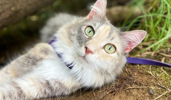 dilute tortie cat laying on ground in harness and leash