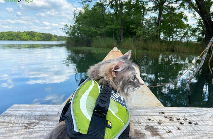 Cat in a life jacket on a canoe