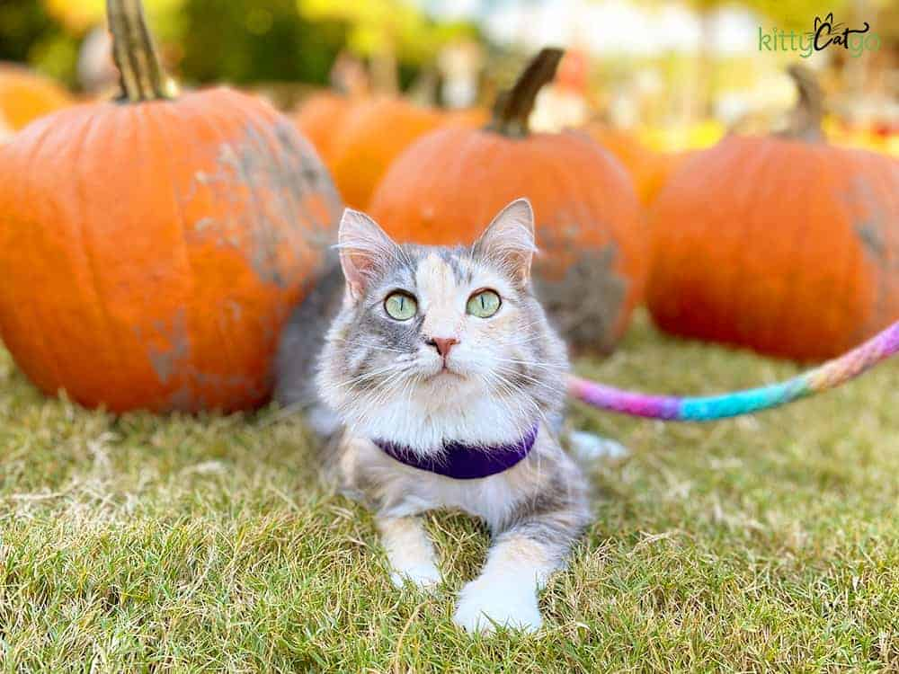 cat on a harness and leash at a pumpkin patch